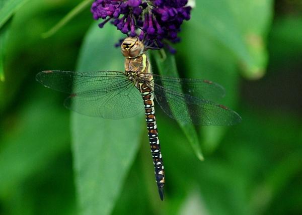 Dragon Fly by CHIPPYX1X