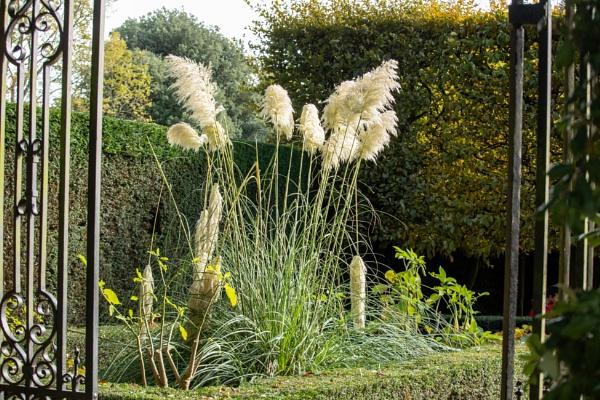 Pampas Grass by johnwnjr