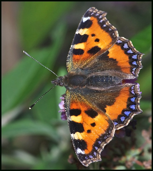 A Small Tortoiseshell :-- by Badgerfred