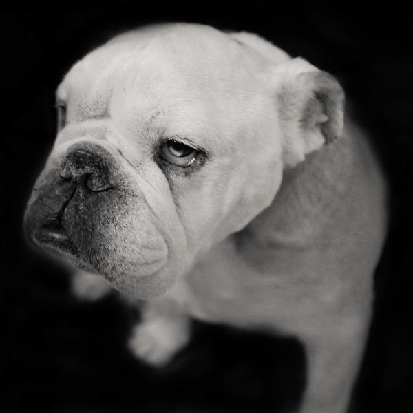 Bobby the Bulldog by AndrewAlbert