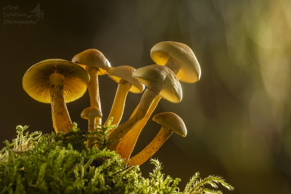 Sulphur tuft mushrooms backlit by Angi_Wallace