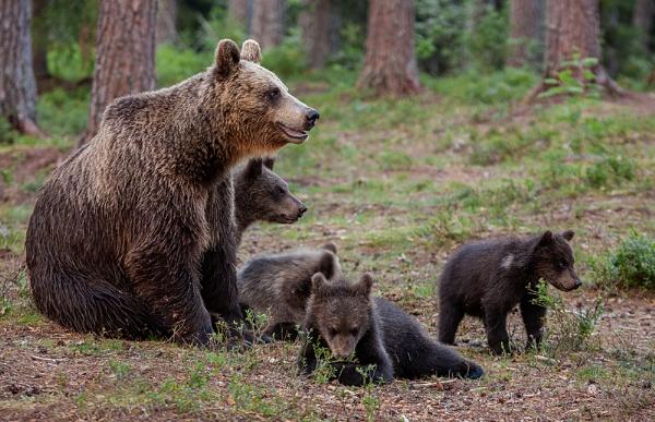 European Brown Bears by rontear