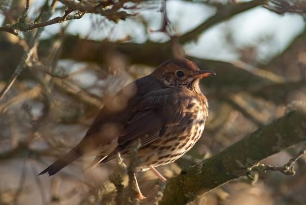 Britain\'s national Bird by ctxuk