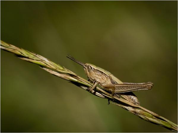 Cricket by kevmor999