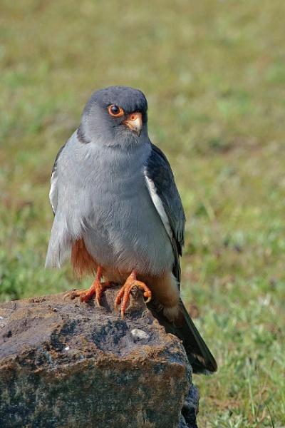 Amur Falcon by rounakrocks36