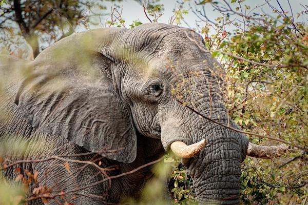 African Elephant in Botswana by pdunstan_Greymoon