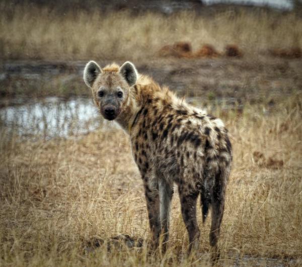 Hyena by pdunstan_Greymoon
