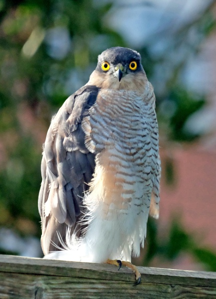 Sparrowhawk by CharlieW7