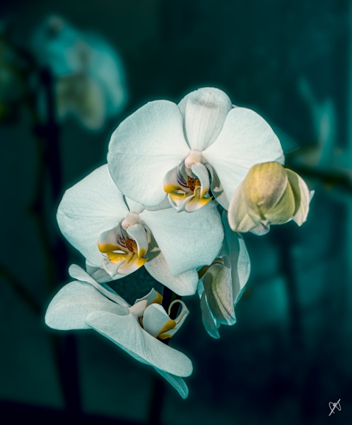Orchid by chataignier