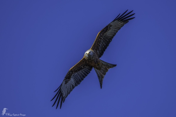 Red KIte by raygebe53