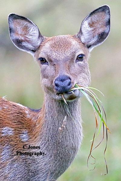 Sika Deer. by cjones