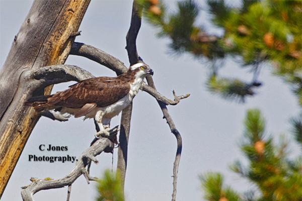 Osprey by cjones
