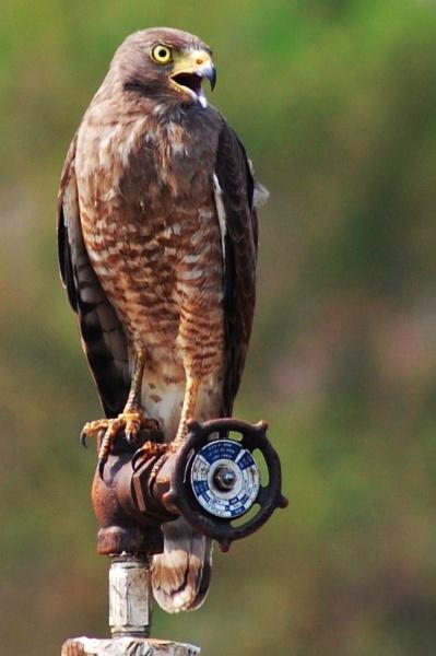 Hawk by pedromontes