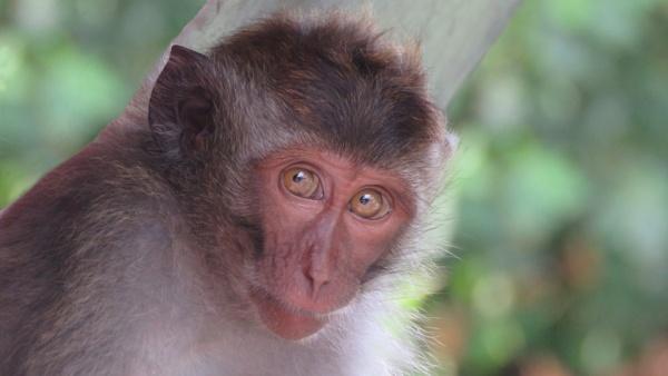 Bali Monkey by TheURL