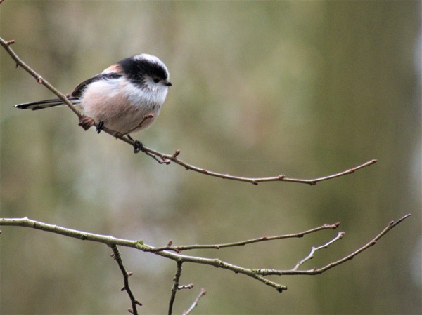 Long tailed tit by GwB