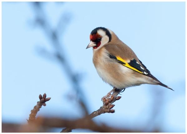 Goldfinch by davidgibson