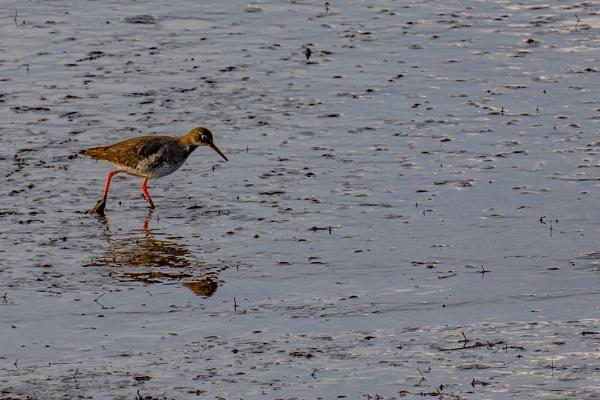Redshank by terra