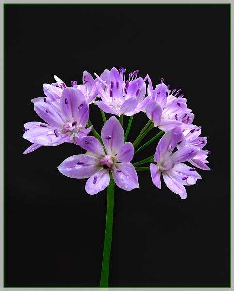 Allium by Sylviwhalley
