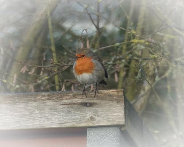 Garden Robin by HobbitDave