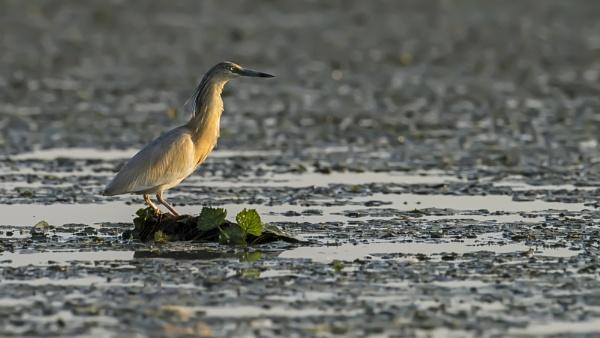 Squacco Heron by richmowil