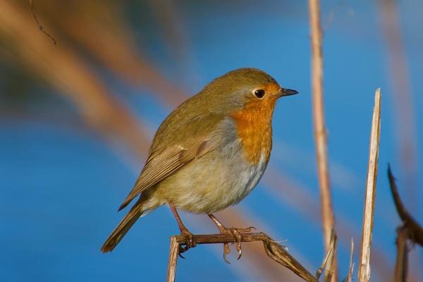 Just a Robin. by cheddar-caveman
