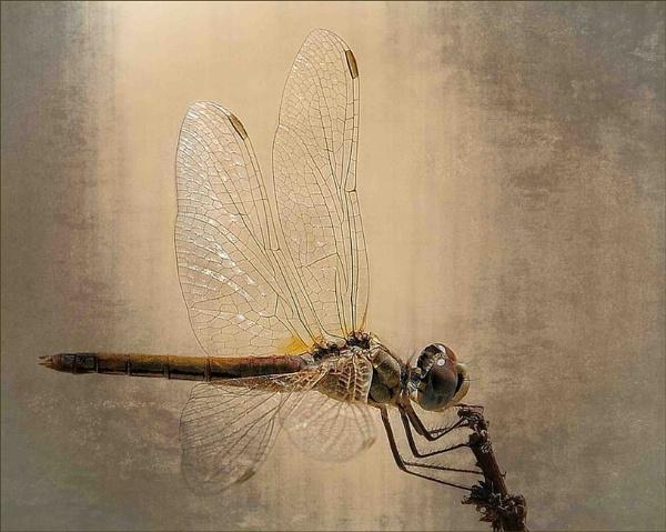 Golden Wings by sweetpea62