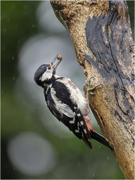 Woodpecker in the rain by kevmor999