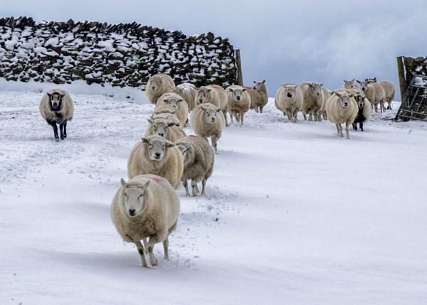 Sheep Stampede - feeding time by HelenaJ
