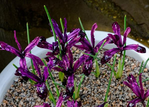 Iris Reticulata by Nikonuser1