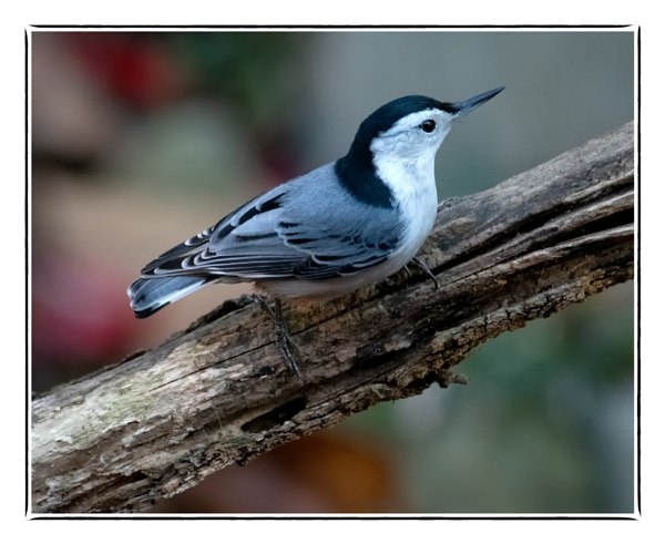 White-breasted Nuthatch by taggart