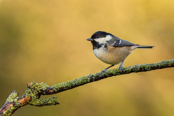 New years day Coal tit by tripodted
