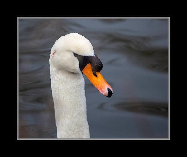 Swan Head by r0nn1e
