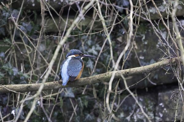 kingfisher 1 by stevegilman