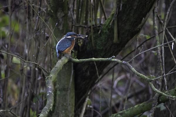 kingfisher 4 by stevegilman