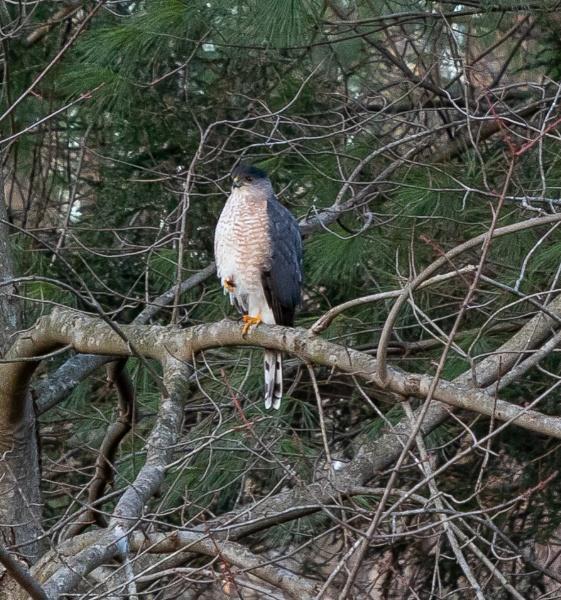 Coopers Hawk by Merlin_k