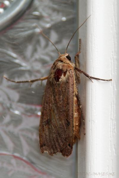 A Bright-line Brown-eye Moth... by Alan_Baseley