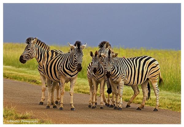 zebras by fatfranksfolley