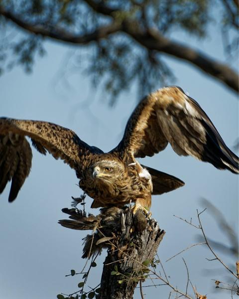 Bird of Prey by pdunstan_Greymoon