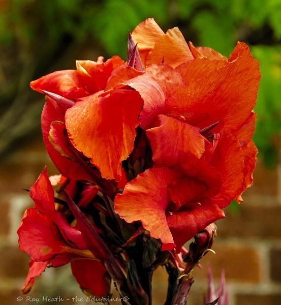 Vibrant deep red flower at Longford Hall Farm Gardens by RayHeath