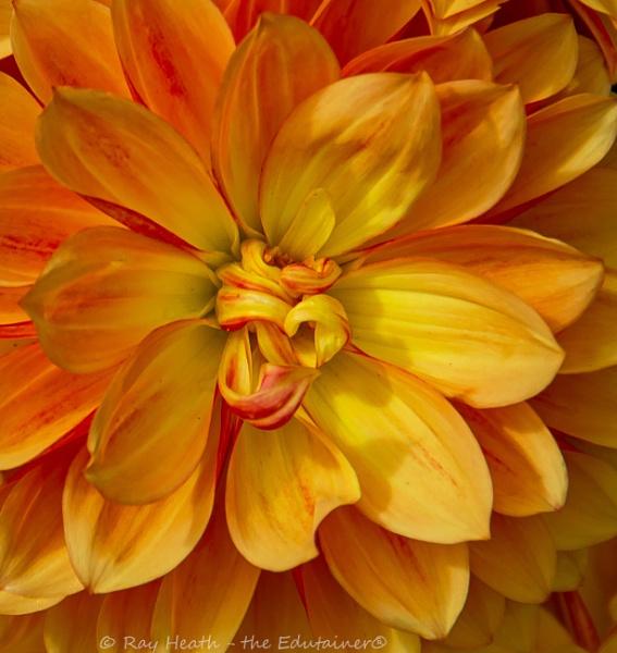 Yellow coloured zinnia flower detail... at Longford Hall Farm Ga by RayHeath