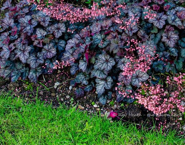 Front garden pretty pink flowers & dark foliage at Longford Hall by RayHeath