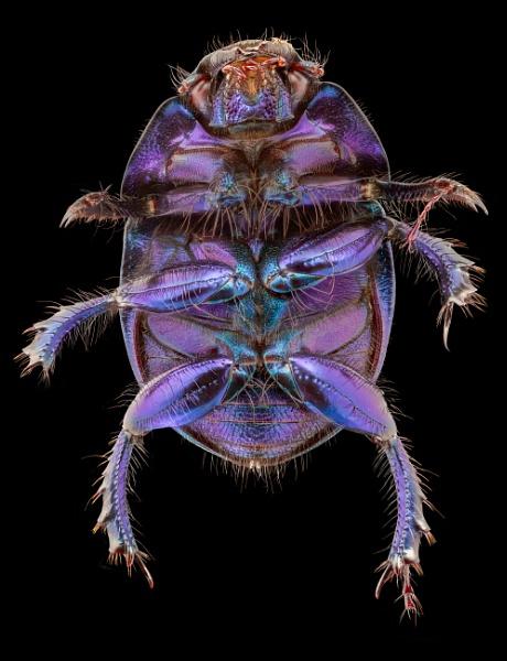 Dor Beetle by stu8fish