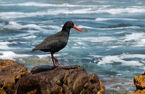 Black African Oystercatcher by Karuma1970