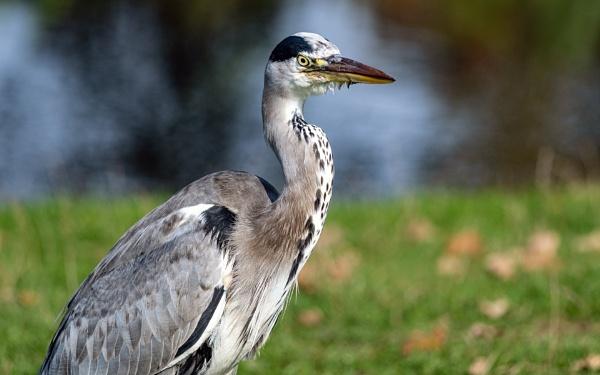 Grey Heron by jimobee