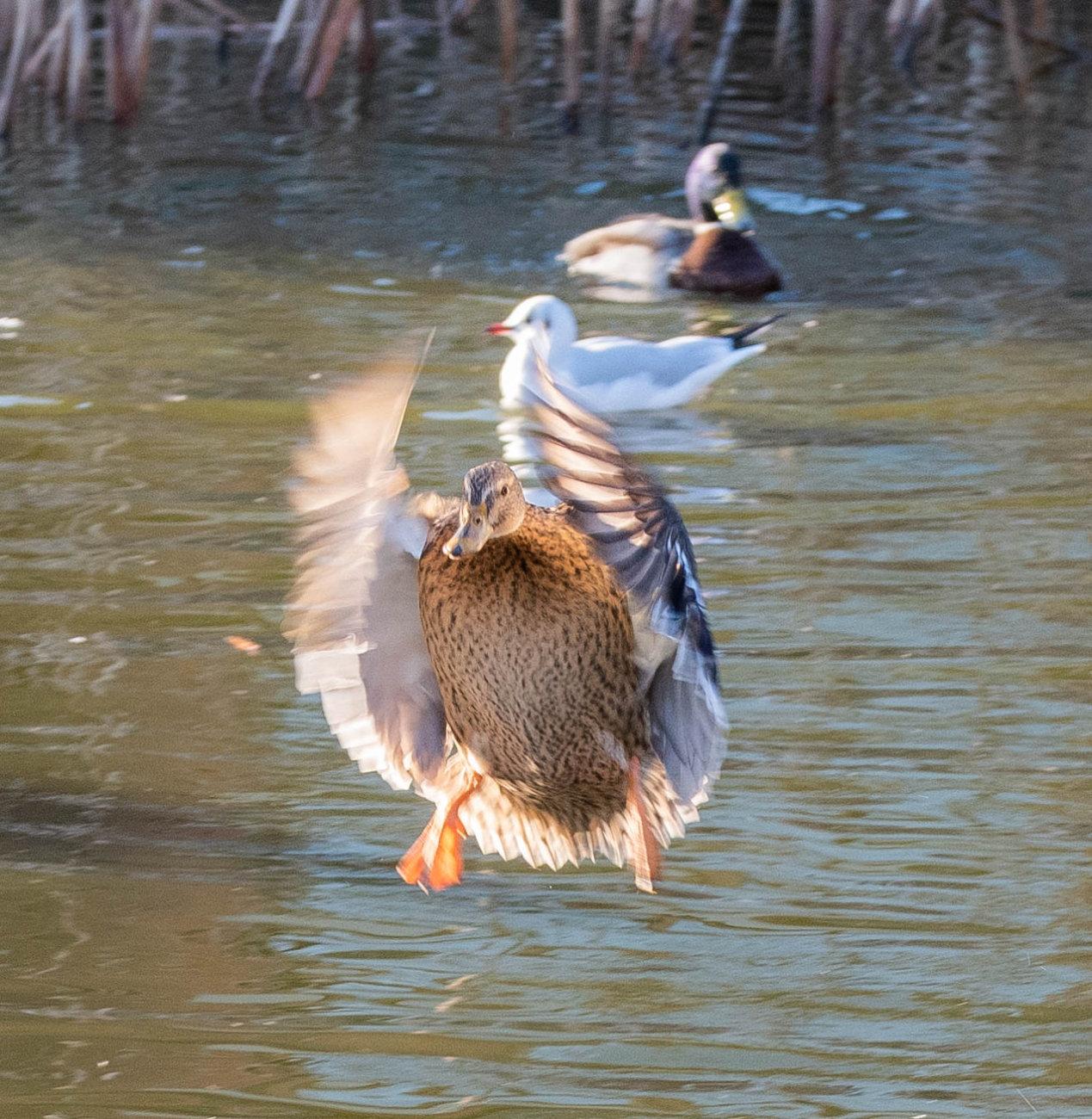 The flying Mallards