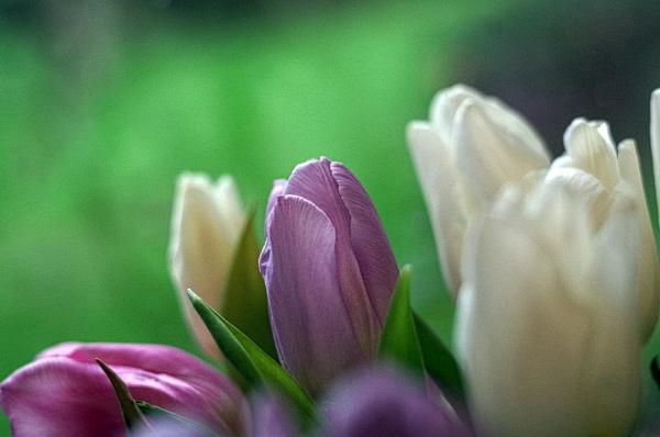 Tulip ...... 4 by Mollycat