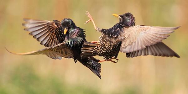 Avian combat by bobpaige1