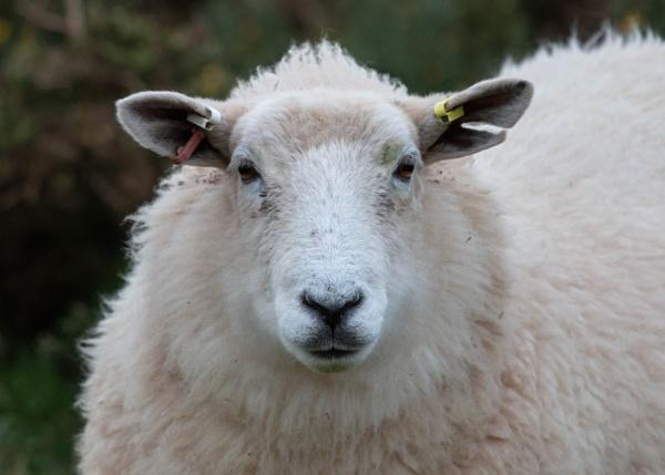 Ewe are looking sheepish by number9