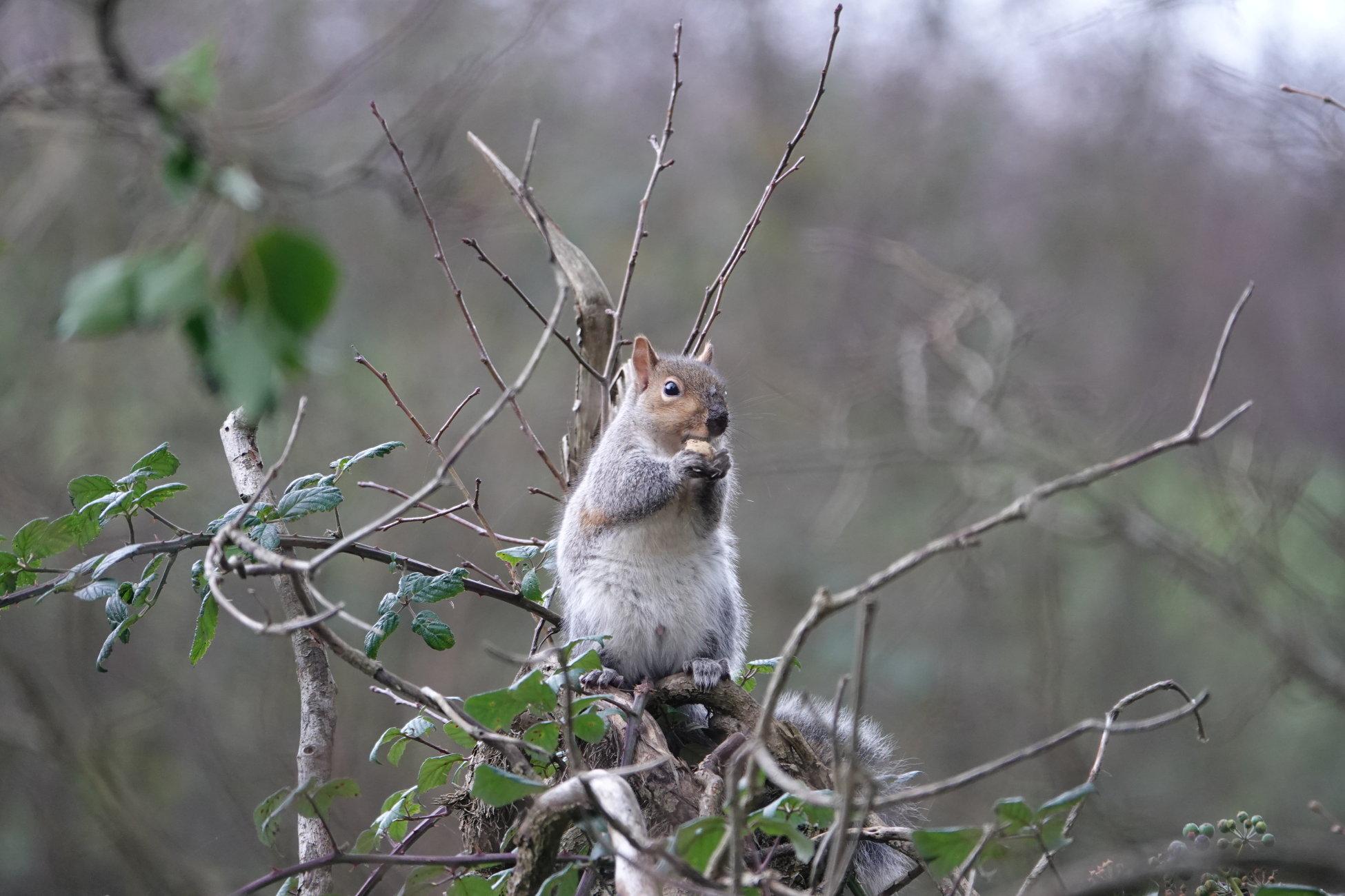 Squirrel eating breakfast.