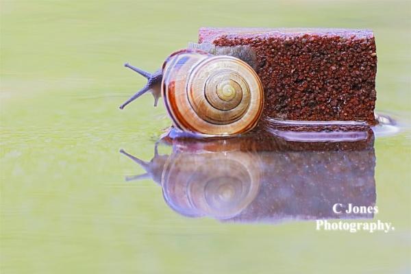 Snail. by cjones